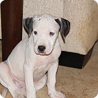 Adopt A Pet :: Niko - Phoenix, AZ