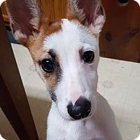 Adopt A Pet :: Fontanne - Alexandria, VA