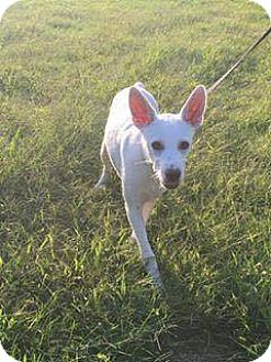 Jack Russell Terrier Mix Dog for adoption in Dayton, Ohio - Mash