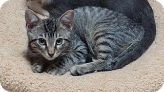 Domestic Shorthair Kitten for adoption in Bulverde, Texas - Odin
