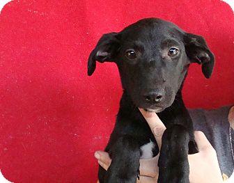 Labrador Retriever/Golden Retriever Mix Puppy for adoption in Oviedo, Florida - Emma