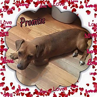Dachshund Mix Dog for adoption in Enid, Oklahoma - Promise