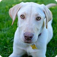 Labrador Retriever Puppy for adoption in Salt Lake City, Utah - Dagger