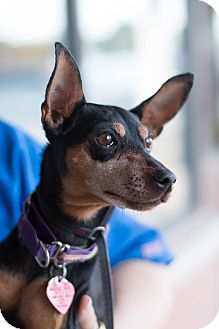 Miniature Pinscher Dog for adoption in Syracuse, New York - Anja