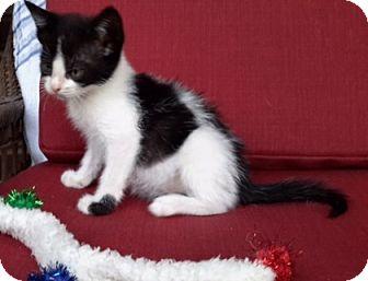 Domestic Shorthair Kitten for adoption in Mobile, Alabama - Dottie