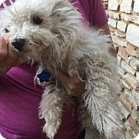 Maltese/Poodle (Toy or Tea Cup) Mix Dog for adoption in Verona, New Jersey - Fozzie: Adoption Pending