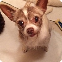 Jack Russell Terrier/Chihuahua Mix Dog for adoption in Edmond, Oklahoma - Lollipop