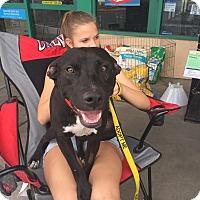 Adopt A Pet :: Shadow - Las Vegas, NV