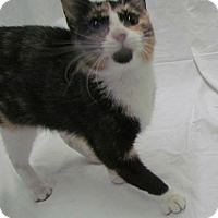 Domestic Shorthair Cat for adoption in St. Louis, Missouri - Sassy