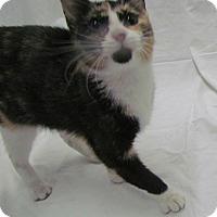 Adopt A Pet :: Sassy - St. Louis, MO