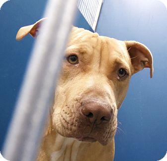 Pit Bull Terrier Mix Dog for adoption in Henderson, North Carolina - Deena