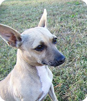 Chihuahua Mix Dog for adoption in Portsmouth, Virginia - Abe Lincoln