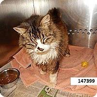 Adopt A Pet :: Chutney - THORNHILL, ON
