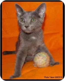 Domestic Shorthair Kitten for adoption in Orlando, Florida - Elena