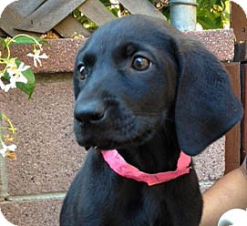 Labrador Retriever Puppy for adoption in Inglewood, California - Ebony