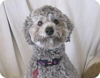 Poodle (Miniature) Dog for adoption in Golden Valley, Arizona - Gabby