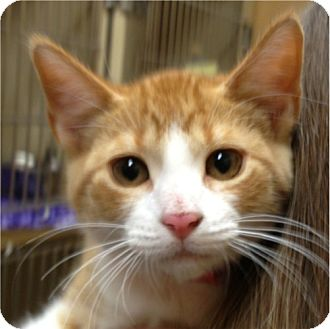 Domestic Shorthair Kitten for adoption in Weatherford, Texas - Cheese Puff