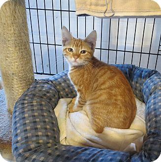 Domestic Shorthair Kitten for adoption in Geneseo, Illinois - Argo