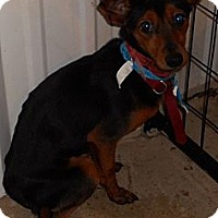 Adopt A Pet :: Min Pin Mix - Aloha, OR