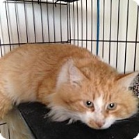Adopt A Pet :: TUFFY-PetsMart Kitty - Scottsdale, AZ