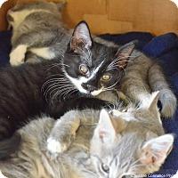 Adopt A Pet :: Sylvester - Island Park, NY