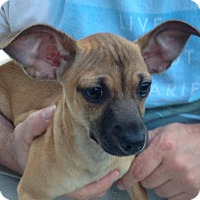 Adopt A Pet :: Violet - Bedminster, NJ