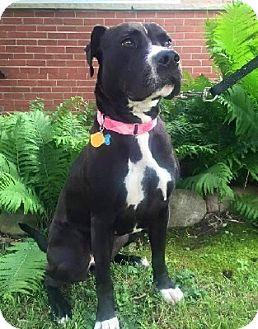 Labrador Retriever/Boxer Mix Dog for adoption in Birmingham, Michigan - PRINCESS BUTTERCUP