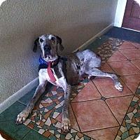 Adopt A Pet :: LouLou - Austin, TX