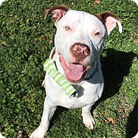 Adopt A Pet :: Captain - Wichita Falls, TX