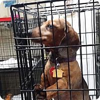 Adopt A Pet :: Dixie - Lubbock, TX