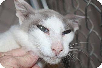 Oriental Cat for adoption in Tucson, Arizona - Alex