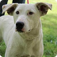 Adopt A Pet :: Cauliflower - Yardley, PA