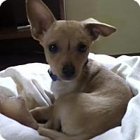 Adopt A Pet :: Pixie - Minneapolis, MN