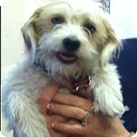 Dachshund Mix Dog for adoption in Phoenix, Arizona - Phoebe