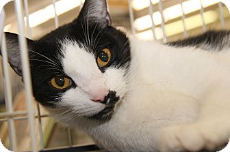 Domestic Shorthair Cat for adoption in Marietta, Ohio - Brian (Neutered/Declawed)