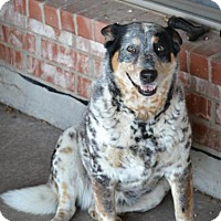 Adopt A Pet :: COOKIE - Quinlan, TX