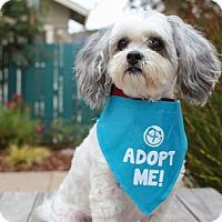 Adopt A Pet :: Bandit Maltipoo - Pacific Grove, CA