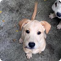 Adopt A Pet :: Mew - PENDING - Grafton, WI