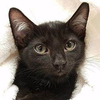 Domestic Shorthair Kitten for adoption in New York, New York - Snuffy