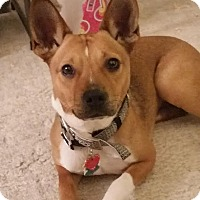 Adopt A Pet :: Roxy - Carolina Dog - Laingsburg, MI