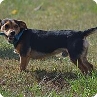 Dachshund Mix Dog for adoption in Lebanon, Missouri - Tanner