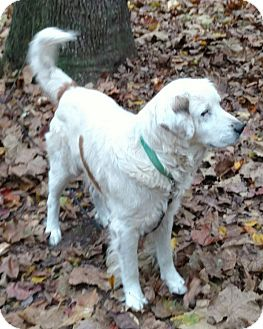 Golden Retriever/Great Pyrenees Mix Dog for adoption in Capon Bridge, West Virginia - Goliath