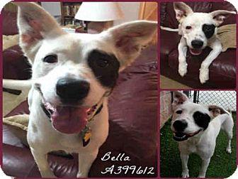 Border Collie Mix Dog for adoption in San Antonio, Texas - BELLA