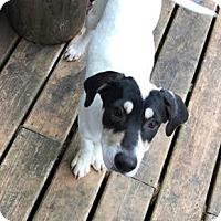 Catahoula Leopard Dog Mix Puppy for adoption in DeForest, Wisconsin - Sugar
