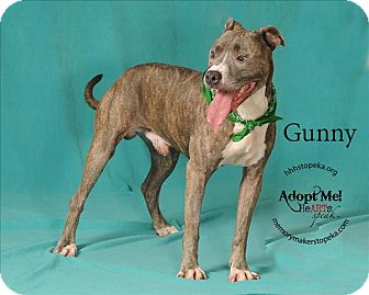 Pit Bull Terrier Mix Dog for adoption in Topeka, Kansas - Gunny