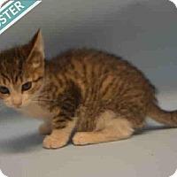 Adopt A Pet :: PRETZEL - Brooklyn, NY