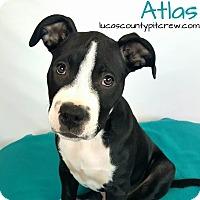 Adopt A Pet :: Atlas - Toledo, OH