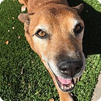 Adopt A Pet :: Marlin - Gilbert, AZ