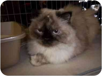 Himalayan Cat for adoption in Oakland Park, Florida - Mya