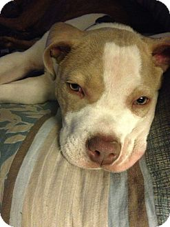 American Pit Bull Terrier Puppy for adoption in Killen, Alabama - Major